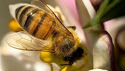How Do You Spot A Healthy Honey Bee?
