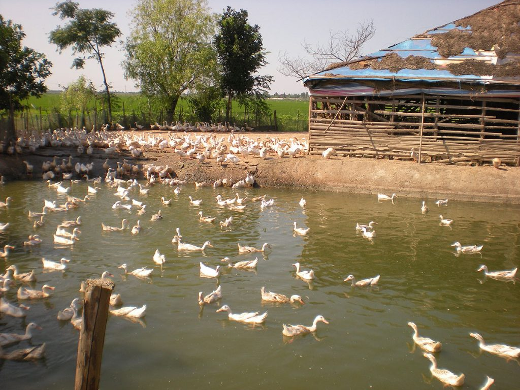 A domestic duck farm.